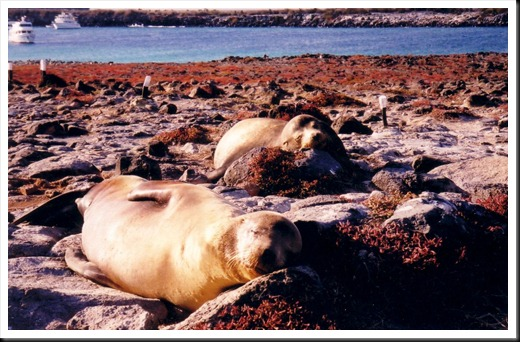 Galapagos - Sea Lions Sleeping on Rocks